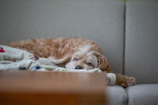 チャチャが好きな毛布の上でウトウト…