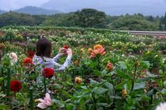 「ダリア」の花言葉は「栄華」「気まぐれ」、 赤の花言葉は「華麗」、 白の花言葉は「感謝」。 黄色の花言葉は「優美」。