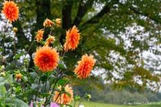 いろんな種類のダリアの花がたくさん。