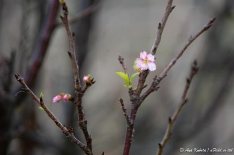 何を血迷ったか…サクラが咲いていました